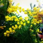 Le mimosa ! J'adore le mimosa... C'est lui le printemps !