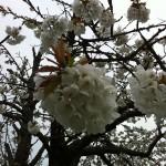 La photo est trop moche mais un peu de respect pour le chant du cygne de ce cerisier s'il vous plait.